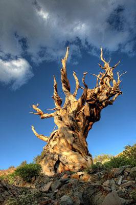 Le pin Bristlecone - Sud-ouest des États-Unis