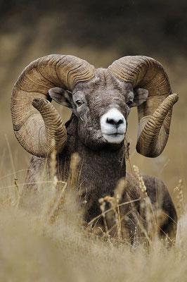 Le mouflon canadien