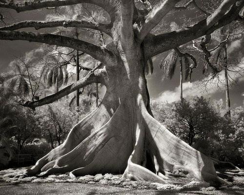 Le ceiba pentandra - Amérique du Sud