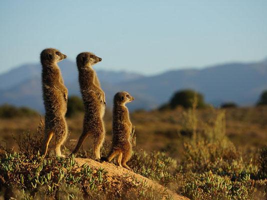 Le suricate - Sud-ouest de l'Afrique