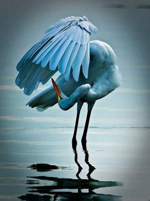 La grue de paradis - Afrique du Sud