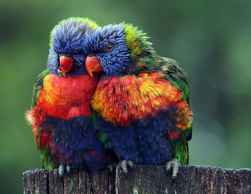 Le loriquet arc-en-ciel originaire de l'est de l'Australie