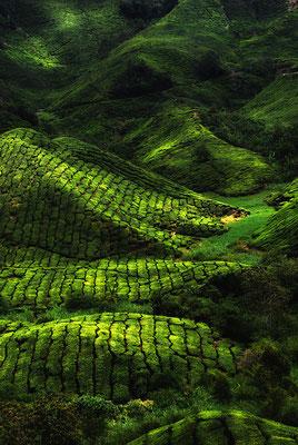 Plantation de thé sur les Hauts plateaux de Cameron en Malaisie