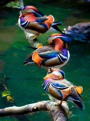 Le canard mandarin - Asie du Nord-Est
