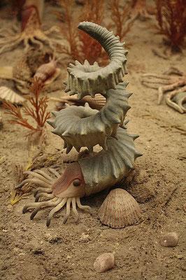 Helioceras - Ammonite hétéromorphe