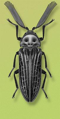 Le callirhipis cardwellensis