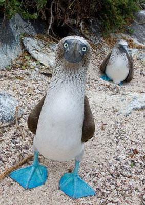 Le fou à pieds bleus - Îles Galápagos