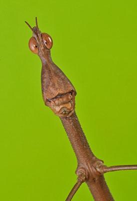 Le criquet-phasme à tête de cheval - Le proscopia scabra