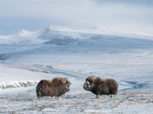 Le bœuf musqué - Île Wrangel en Russie