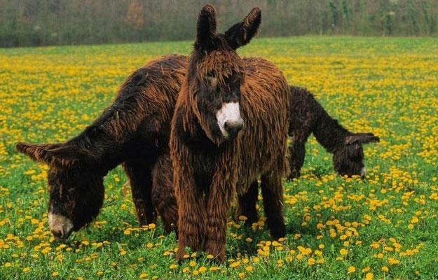 L'âne du Poitou