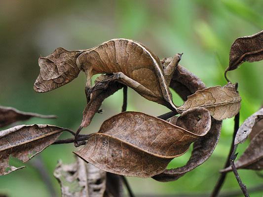 Le gecko satanique à queue de feuille