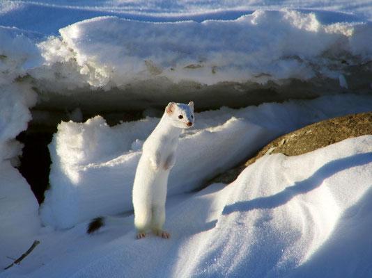 La belette blanche