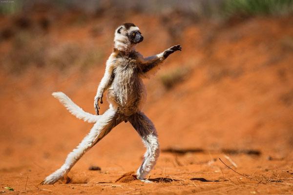 Le sifaka - Madagascar