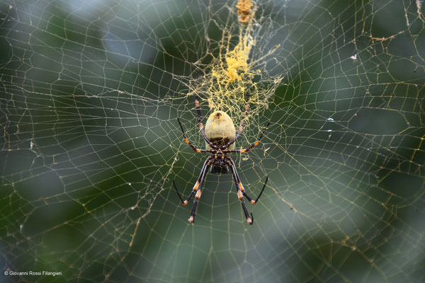 TONGAN GIANT SPIDER (nephile tetragnathoides)