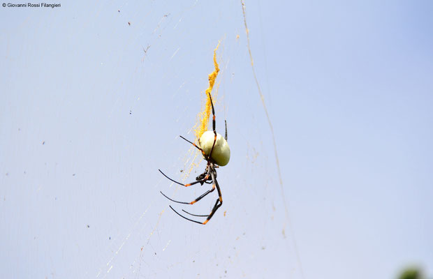 TONGAN GIANT SPIDER (nephila tetragnathoides)