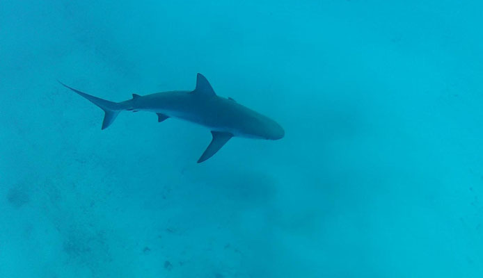 UN GREY REEF SHARK