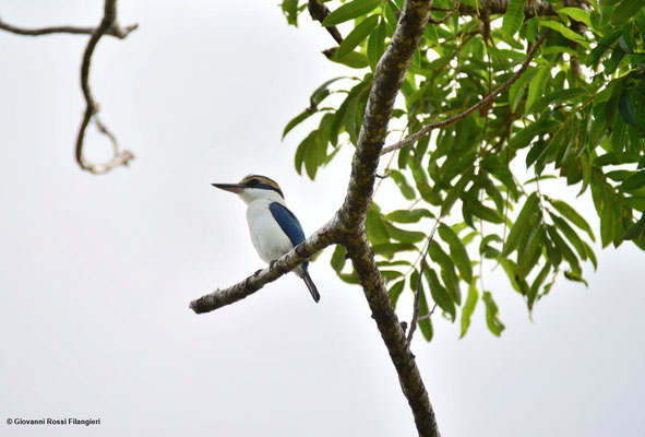 FLAT BILLED KINGFISHER (halcyon recurvirostris)