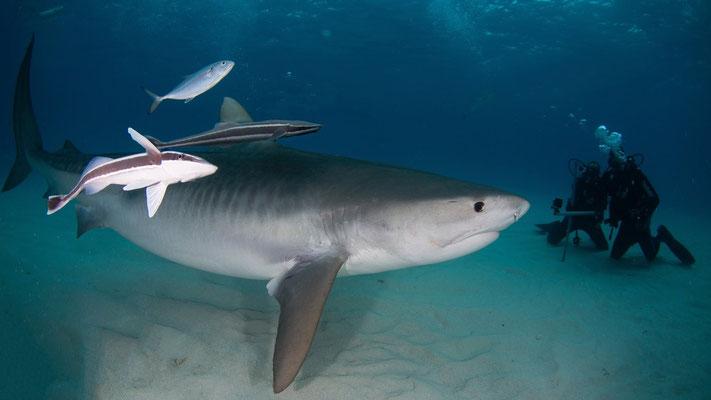 BAHAMAS Anna, Giovanni e lo squalo tigre