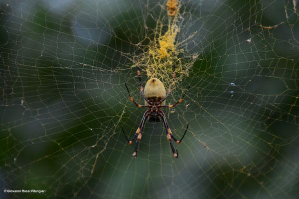 TONGAN GIANT SPIDER