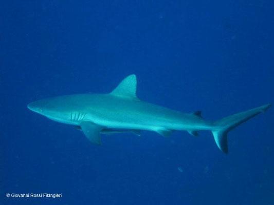 BLUE CORNER squalo grigio