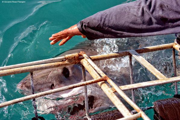 Grande squalo bianco vicino la gabbia