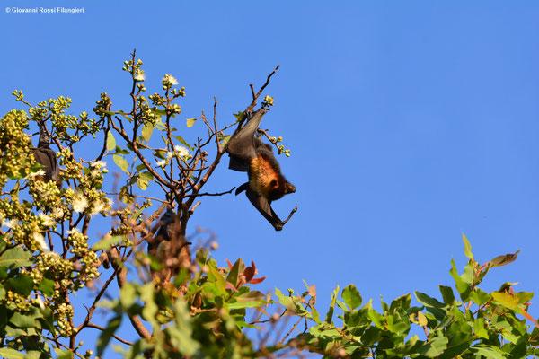 PISTRELLO GIGANTE (Pteporus erxleben)