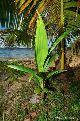 pianta del cocco