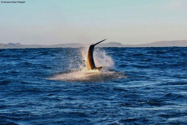 SHARK BREACHING