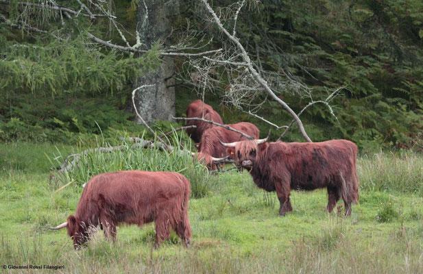 ARINAGOUR; Highland cows