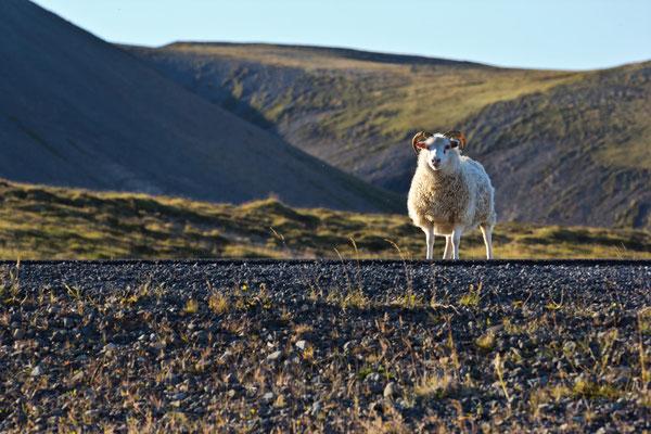 Schafsblick