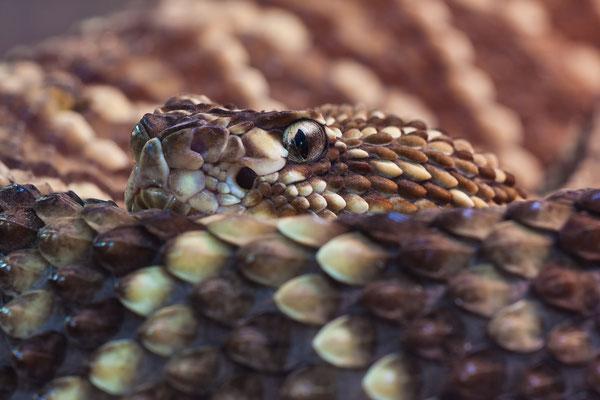 Klapperschlange
