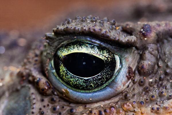 Auge einer Aga Kröte
