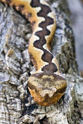 Horn Viper