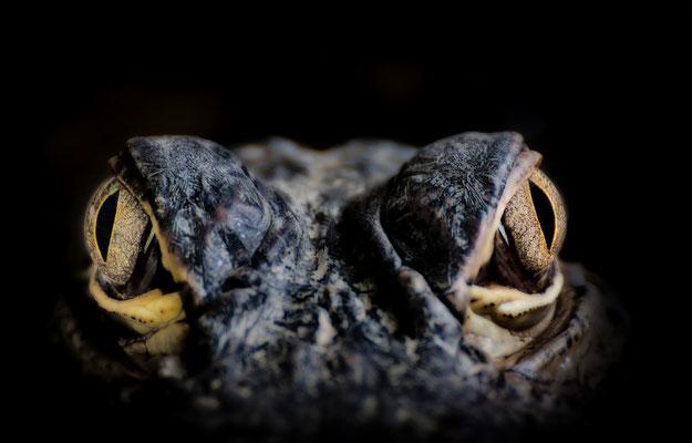 Augen eines jungen Krokodils