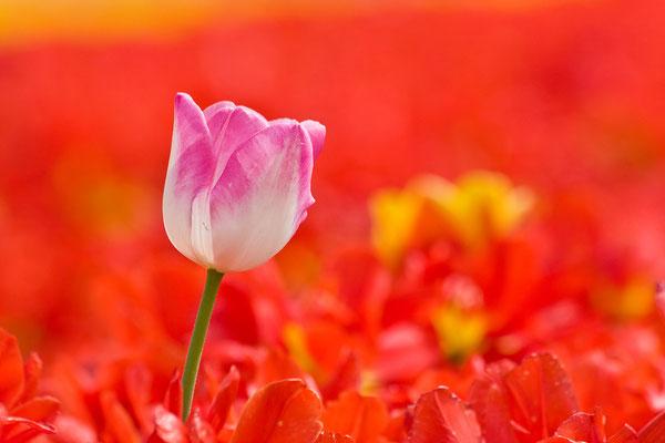 Tulpen Impression