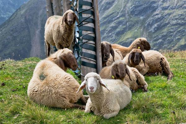 Reinstadler Schafe