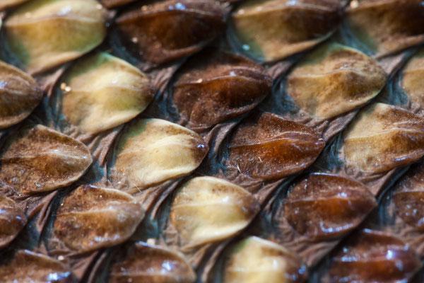 Hautschuppen einer Klapperschlange
