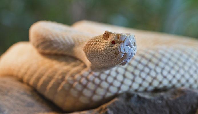 Albino Klapperschlange