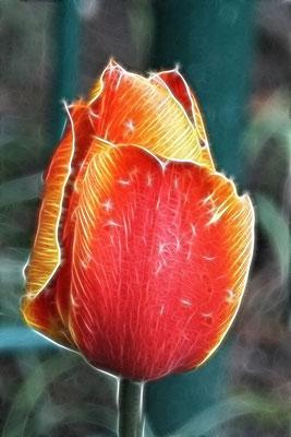 Tulip in Fractalius
