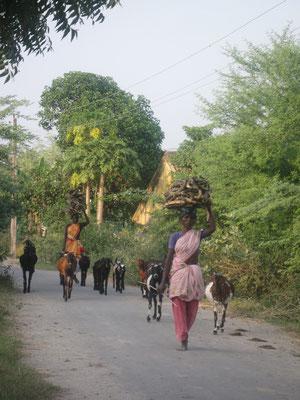 Gardiennes de chèvres et cueillette du bois pour la cuisine