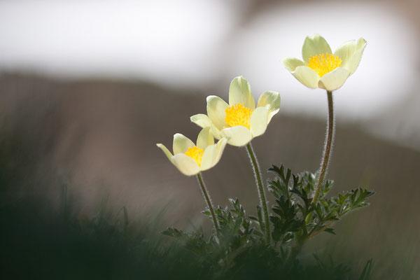Pulsatilla alpina ssp apiifolia, Schwefelgelbe Alpen-Kuhschelle, Montafon, 05.06.2015