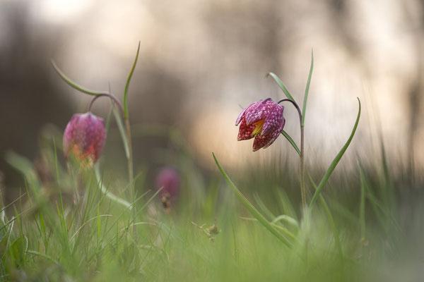 Schachbrettblume, Fritillaria meleagris, 24.04.2021