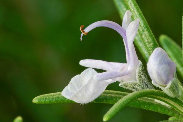 Rosmarinus officinalis, 26.10.2005