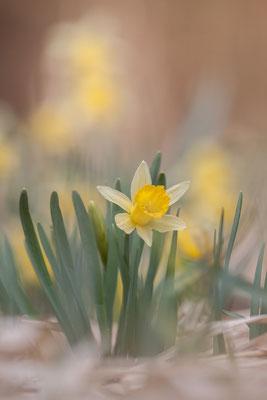 Narzisse, Narcissus pseudonarcissus, 17.04.2021