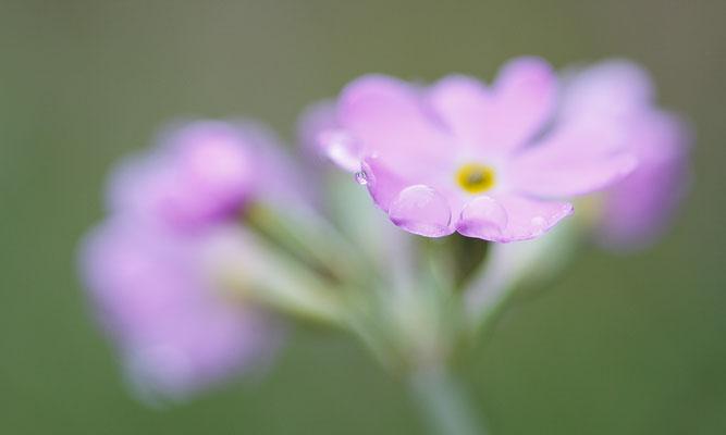 Mehlprimel, Primula farinosa, Rosenlaui, 01.06.2013