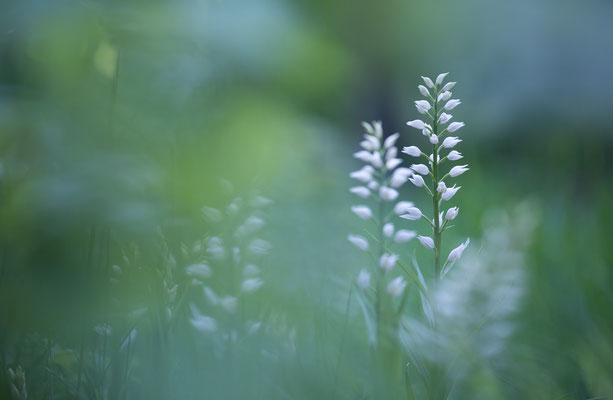 Schwertblättriges Waldvögelein, Cephalanthera longifolia, Platte, 23.05.2021