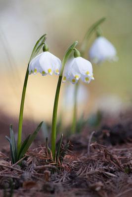 Märzenbecher, Leucojum vernum, 02.03.2012
