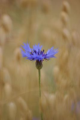 Kornblume, Centaurea, cyanus, 12.07.2008