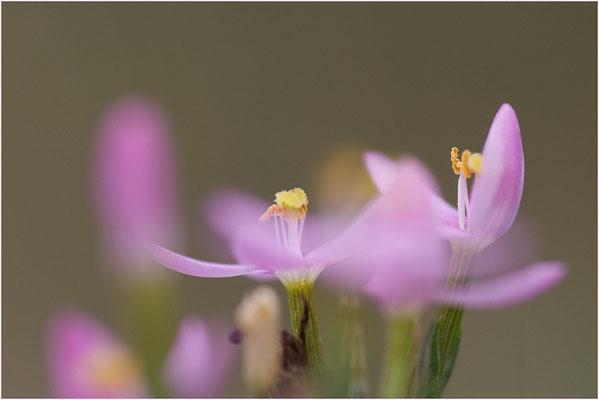 Tausendgüldenkraut, Centaurium erythraea, 24.08.08