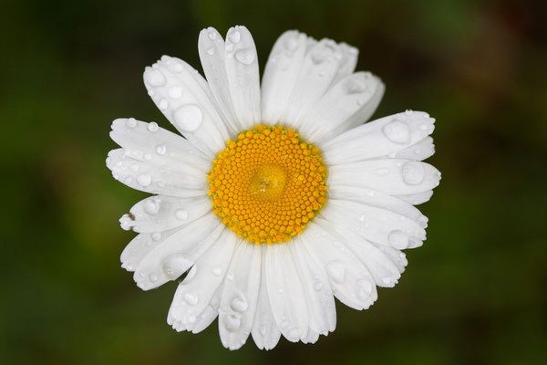 Margerite, Leucanthemum spec., 09.06.2012